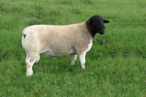 Pure Bred Dorper RAM's for sale