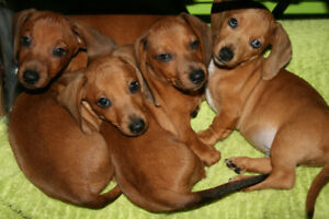 Miniature dachshund puppies..