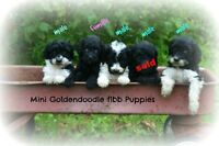 mini Goldendoodle puppies !! only 5 puppies !!