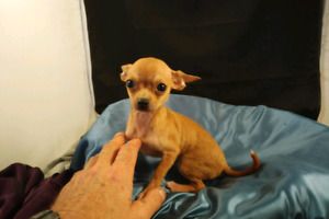 CHIHUAHUA PUPPY TEACUP FEMALE !!!