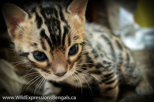 Purebred Bengal Kittens Available
