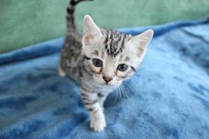 Registered Purebred Silver Bengal kitten