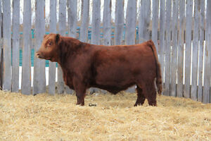 Pure bred yearling Simmental bulls