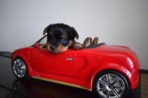 chiots morkie petits chiens males 995$