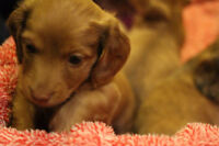 Purebred Miniature, Long Haired Dachshunds - Only 2 remaining!