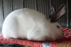 Pure bred Californian Rabbits for Sale