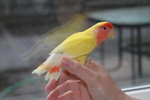 Rare, beautiful hand-fed Lutino baby lovebird!