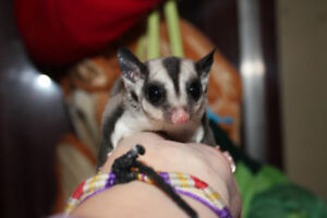 2 adorable Sugar Glider Joeys