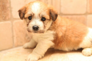 Purebred Havanese Puppies Available for  Adoption