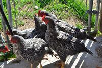 16 week old Barred Rock  meat Cockerels
