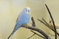 BUDGIES,JAVAS,GOULDIANS,CHICKENS AND QUAILS FOR SALE
