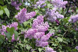Petit arbre de lilas
