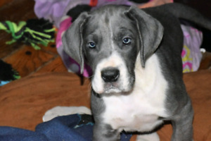 Blue Great Dane puppies Ready to go!
