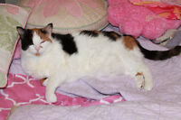 Beautiful Calico Cat - Free to Loving Home