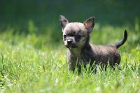 Mini femelle chihuahua 4 lbs Max enregistré ccc!