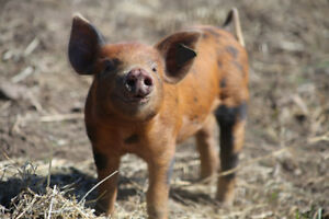 Weaner Pigs