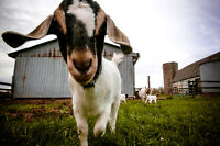 YOGA WITH GOATS - 2 for 1 SPECIAL SATURDAY JUNE 24TH