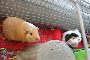 2 Female Guinea Pigs with Large Cage and Extras