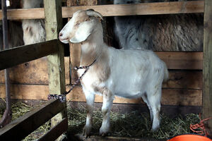 GOAT, DOE, yearling breeding doe, meat type, nice