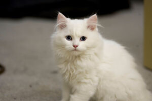 Kittens - two pure white longhaired siblings