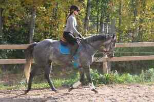 Registered 4 year old 16hh mare  Peterborough Peterborough Area image 2