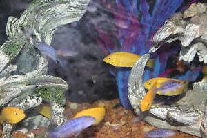Yellow Haps Chiclids and Red topped Zebra mixed Kitchener / Waterloo Kitchener Area image 1
