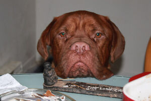 Dogue De Bordeaux Male Available for Photos (French Mastiff)