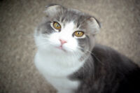 Scottish Fold cat looking for a new home