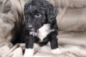 Aussiedoodle puppies ready to go home!