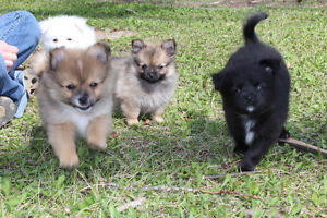 Pom Chihuahua cross puppies SOLD