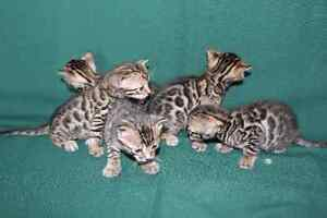 Bengal Kittens taking deposits now!