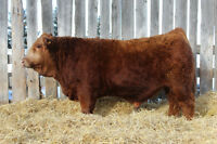 Red and Black Simmental and Red angus Bull for sale