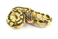 Two Male Ball Pythons