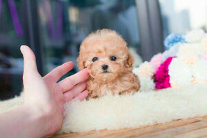 *Looking for* Teacup/Micro Mini puppy (Poodle, or Maltese)