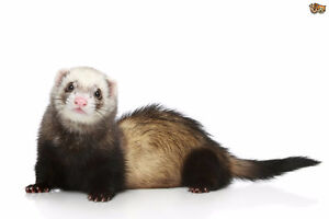 Looking for Ferret Cage + Ferret