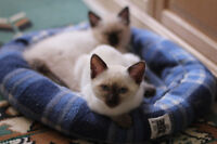 Male Seal Point Siamese Kittens