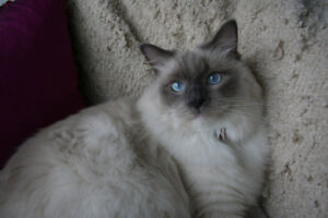 LOST CAT Grey and White Long Haired Ragdoll