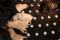 Purebred Lab Puppies! Pick yours before they are Gone!