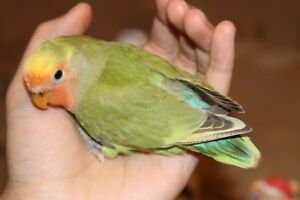 Lovely, super tame peach face green pied baby lovebird!-BOY