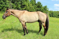 Handsome 16.3h QH for sale