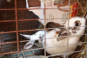 2 male bunnies + cage