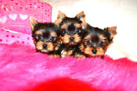 TINY TOY & TOY TEDDY YORKIES ** AUG 1st *416-820-4666*