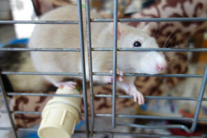 Two free rats to give to a loving home