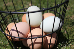 Colourful Chicken Hatching Eggs