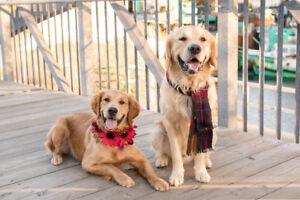 Gorgeous Golden Retriever Puppies!