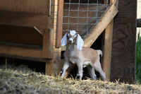 Purebred Nubian doe and buckling for sale