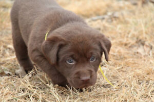 Labrador Retriever Chocolate Male Puppies Hunt/Field lines