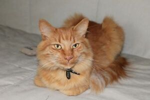 KLAWS:Missing Orange Tabby, Glenelg St W at Albert in Lindsay Kawartha Lakes Peterborough Area image 2