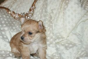 morkie chiot