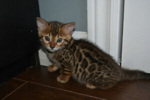 Beautiful Bengal kittens